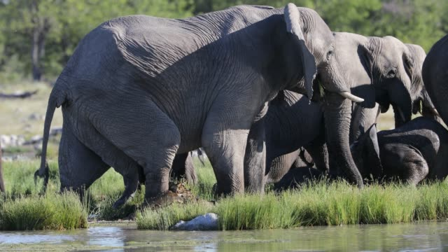 Elephants drinking from pond, Namibia Elephants drinking from pond, Namibia namibia stock videos & royalty-free footage