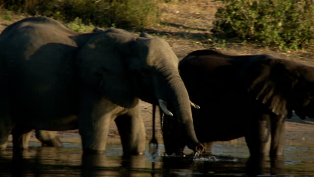 Elephants Drinking video