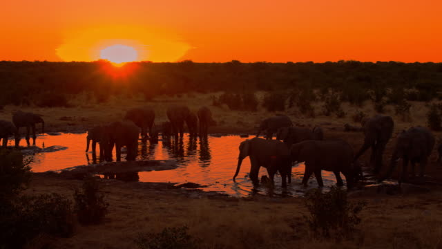 LS DS Elephants Drinking Water at sunset video