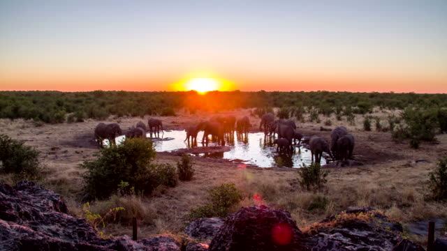 WS DS Elephants Drinking Water From Waterhole HD1080p: WIDE ANGLE DOLLY shot of elephants drinking water from a waterhole in Namibian savannah in the sunset. Namibia. Africa. Also available in 4K resolution. waterhole stock videos & royalty-free footage