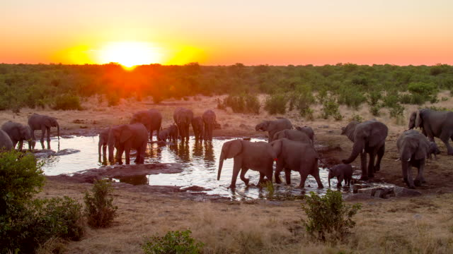 ls ds elephants drinking water from waterhole - wildlife travel stock videos and b-roll footage