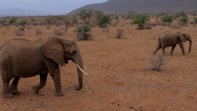 Elephants Family With Baby Goes On The Desert With Red-Brown Sand video