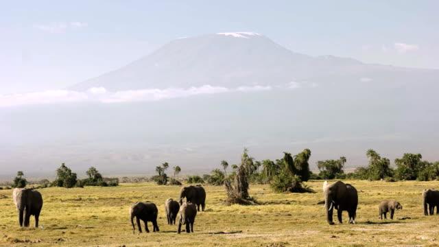 elephants feeding in front of mt kilimanjaro in amboseli, kenya