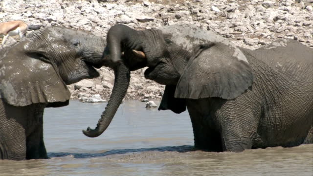 elefanten fighting - wasserloch stock-videos und b-roll-filmmaterial