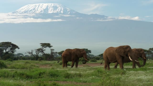 vídeos de stock e filmes b-roll de elephants grazing under mt. kilimanjaro - quénia