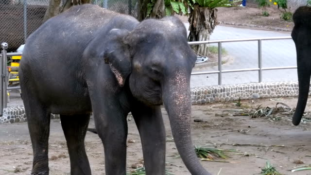 Elephants in a zoo with chains chained to their feet. Slow Motion. Thailand. Asia video