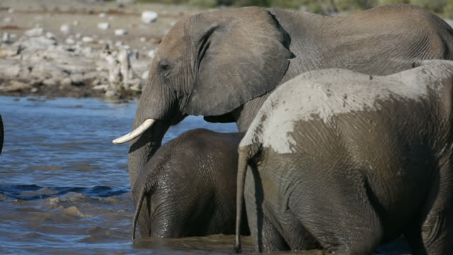 Elephants in Namibia video