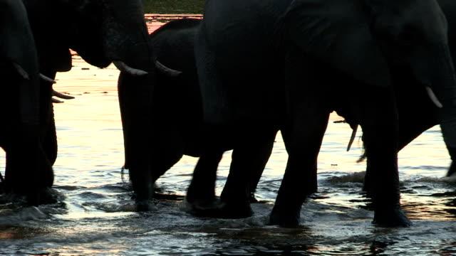 Elephants in silhouette drinking at waters edge ,Okavango Delta,Botswana video