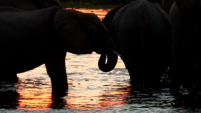 Elephants in silhouette drinking at waters edge ,Okavango Delta,Botswana