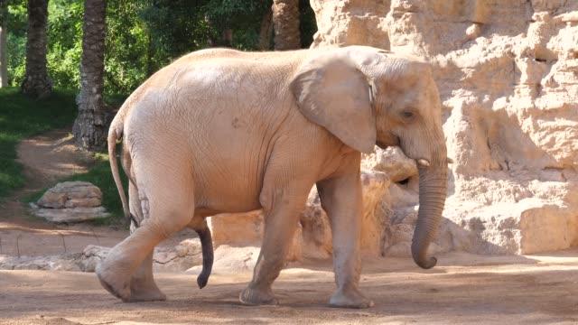 vidéos et rushes de éléphants dans le zoo de la ville de valence-espagne - zoo