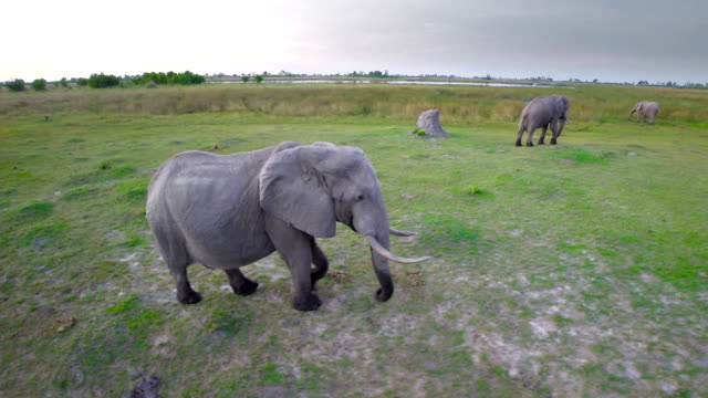 Elephants on the move through the bush video