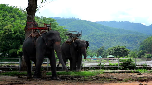 Elephants riding for tourists video