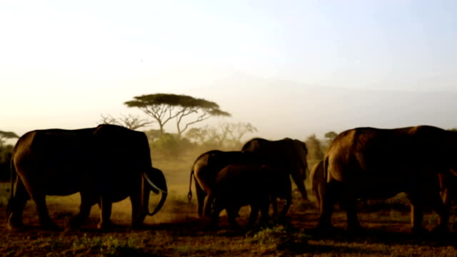 Elephants silhouette video