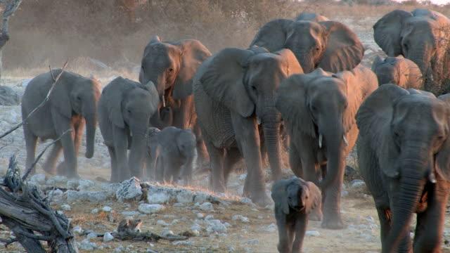 gli elefanti - animale selvatico video stock e b–roll