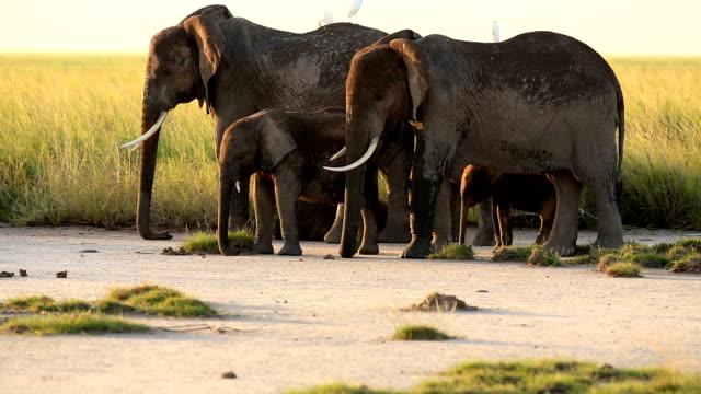 Elephants watching resting calfs video