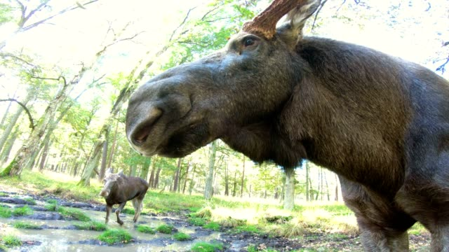 elch, alces alces, elch, elch kuh, stier elch, porträt, von angesicht zu angesicht, wildpark, 4k - elch stock-videos und b-roll-filmmaterial