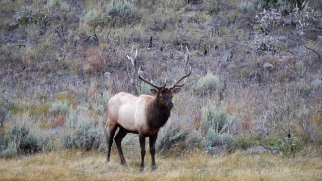 elk bull facing the camera at yellowstone