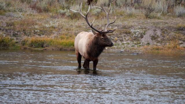 elk bull licking its nose at yellowstone