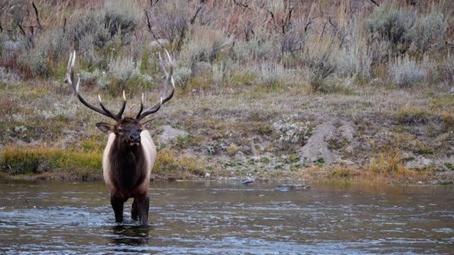 elk bull walking into madison river of yellowstone