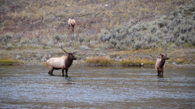elk bull walks towards a cow in the madison river at yellowstone