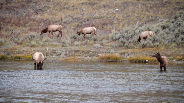 elk herd at the madison river in yellowstone