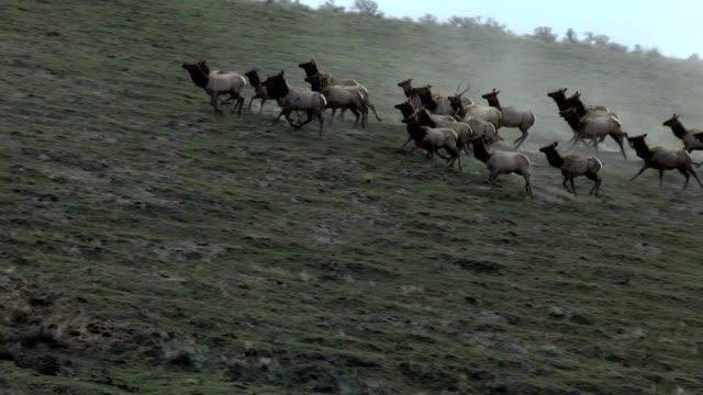 Elk herd running video