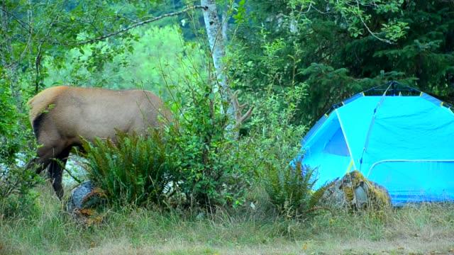 麋鹿在露營 - 州立公園 個影片檔及 b 捲影像