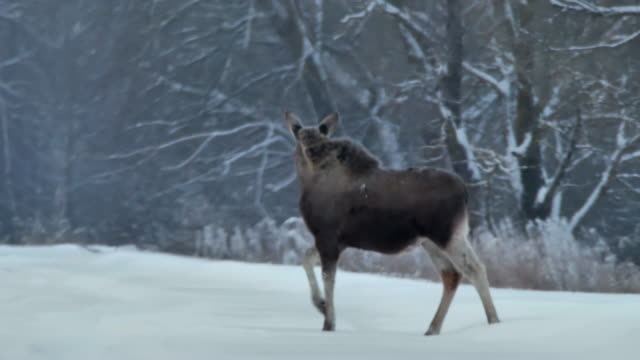 Elk (Moose) in Chernobyl Zone