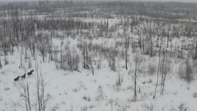 elch (moose) in der tschernobyl-zone - elch stock-videos und b-roll-filmmaterial