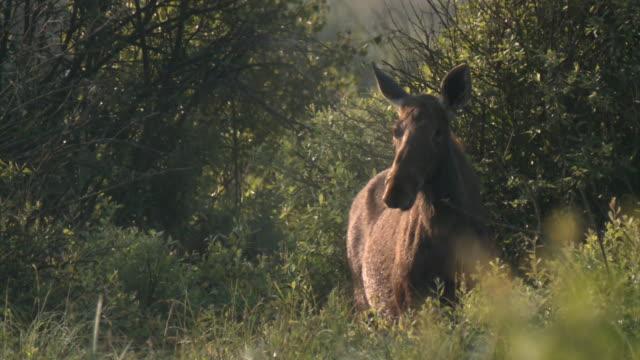 elch im sonnenlicht wald im herbst - elch stock-videos und b-roll-filmmaterial