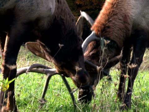 Elk, Males Battling 1 video