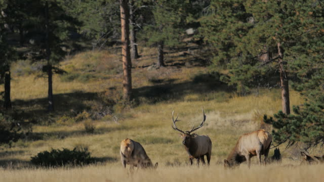 Elk: Rocky Mountain NP video