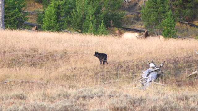 elk running from a male wolf at hayden valley in yellowstone - lupo video stock e b–roll