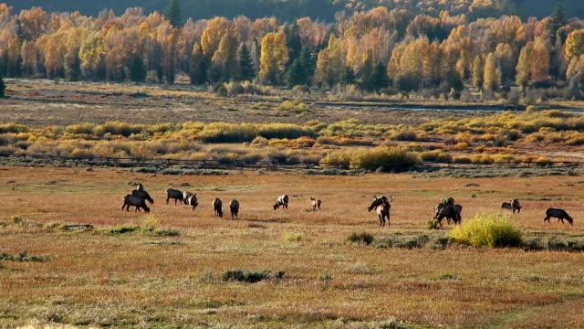 Elk video