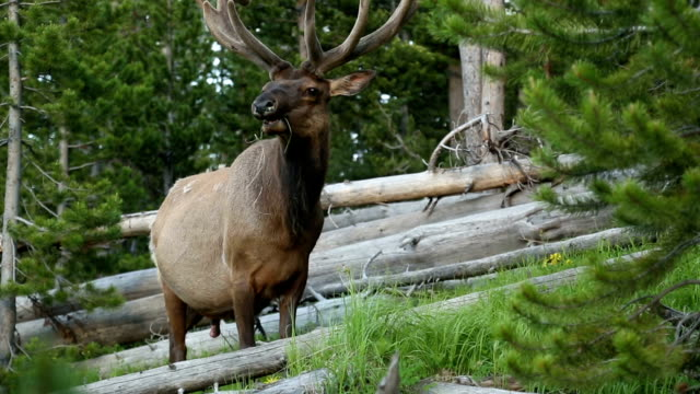 stockvideo's en b-roll-footage met eland - yellowstone national park