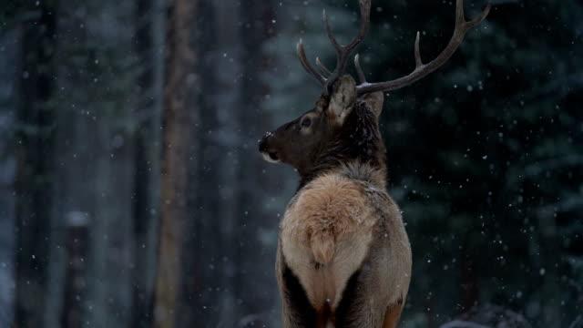 elch, winterschneefall, statische kamera - elch stock-videos und b-roll-filmmaterial