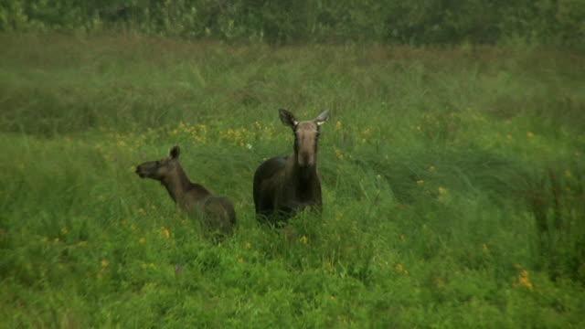 elch mit cub unter starkem wind regen - elch stock-videos und b-roll-filmmaterial