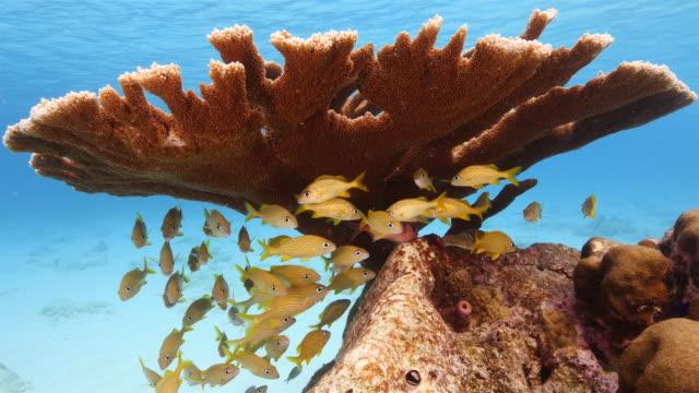 Elkhorn Korallen im Korallenriff in der Karibik auf Curacao – Video