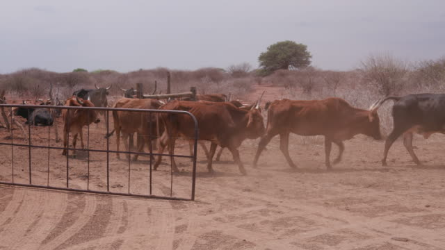 Emaciated cattle due to lack of water and food Emaciated cattle in South Africa due to lack of water and grass from severe drought animal skeleton stock videos & royalty-free footage