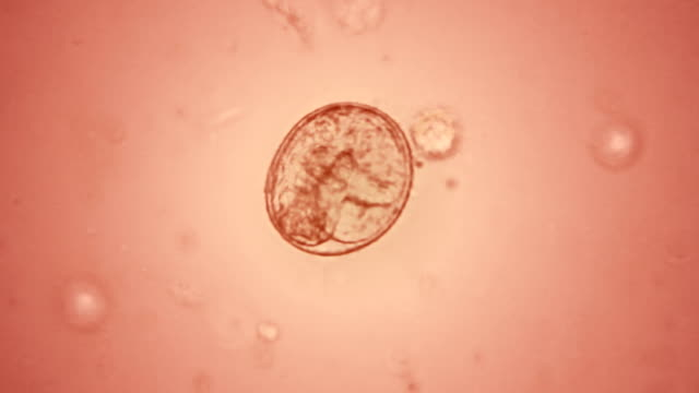 Embryo in the egg Embryo moving in the egg microscope stock videos & royalty-free footage