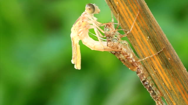Emerging Dragonfly from the larva video