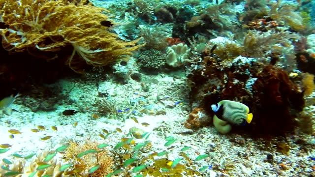 Emperor angelfish swimming between soft and hard coral reef, Kri Island, Raja Ampat, West Papua, Indonesia video