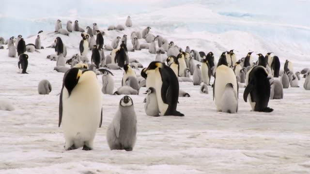 pingwin cesarski dorosłych i z pianki marshmallow - pingwin filmów i materiałów b-roll