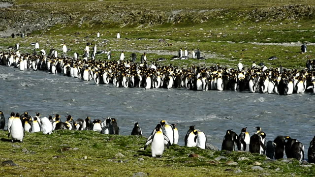 Emperor penguins on the South Georgia Island video