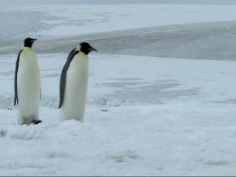 emperor penguins video