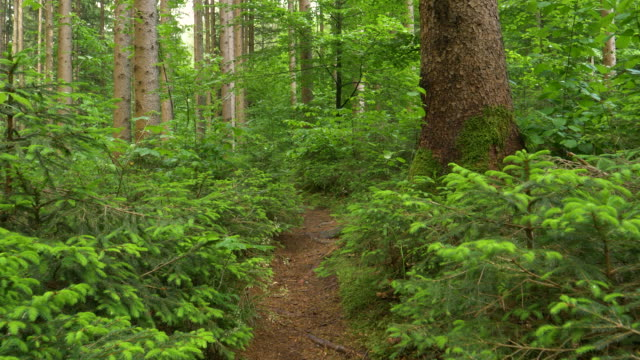 CLOSE UP: Empty narrow hiking trail leads across the dense coniferous forest.