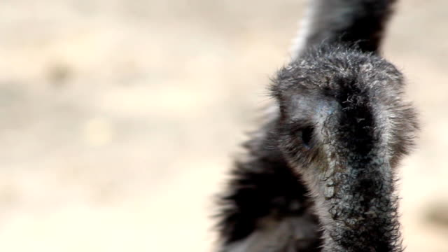 Emu bird head turn back to see camera