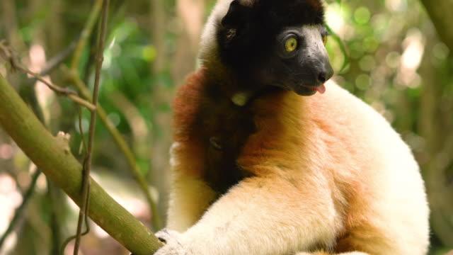 gefährdete liste portrait of crowned sifaka lemur seen in forest jungle area of madagascar. schönes weißes fell und grüne augen. - bedrohte tierart stock-videos und b-roll-filmmaterial