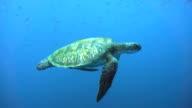 istock Endangered Species Green Sea Turtle (Chelonia mydas) swimming. 801072090