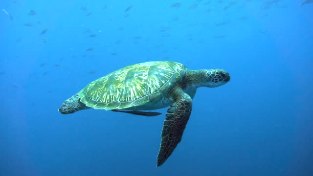 endangered species green sea turtle (chelonia mydas) swimming. - subacqueo video stock e b–roll